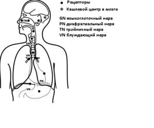 Длительный кашель: рецепторы кашлевого рефлекса