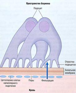 Почечный клубоек - мишень при синдроме Гудпасчера